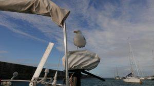 Die Möwen auf Alderney sind ganz schön neugierig.